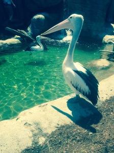 Confident Pelican